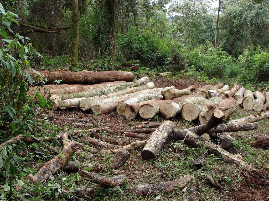 Desmonte de árboles nativos en una reserva aborigen misionera. Foto: Télam
