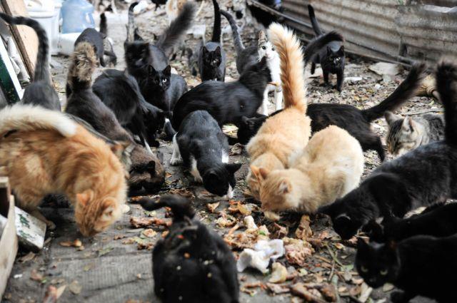 Los gatos comen lo que les dan los visitantes o los isleños, o lo que encuentran en la basura.