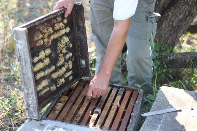 Un apicultor examina una colmena vacía en la que solía haber 60.000 o 70.000 abejas, en La Paz, Córdoba.