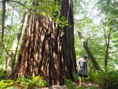 The Redwoods are HUGE