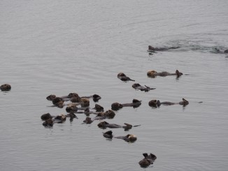 Otters at Moss landing
