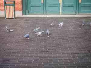 pigeons in new york city