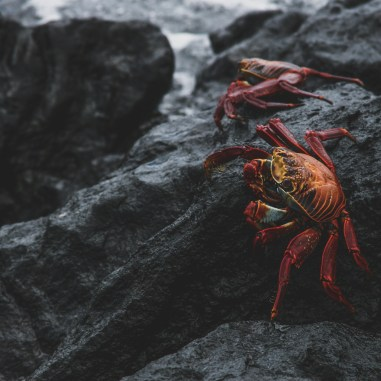 sally lightfoot crabs galapagos islands