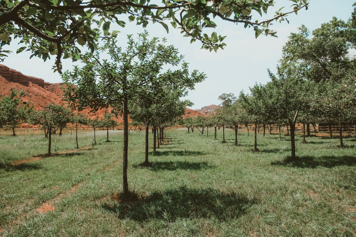 Everything You Need To Know About The Capitol Reef Orchards