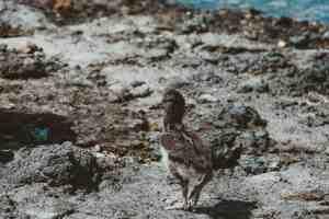 sea birds galapagos islands Las Tintoreras