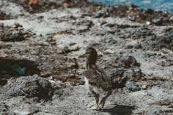 sea birds galapagos islands Las Tintoreras