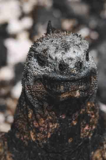marine iguana galapagos islands Las Tintoreras