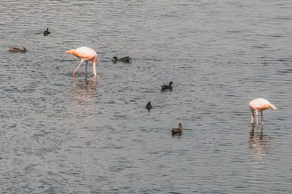 flamingo lagoon puerto vilamil galapagos islands flamingos