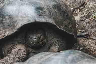 giant tortoise galapagos islands