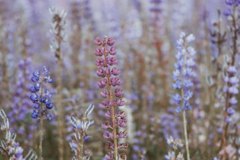 lupines in new zealand