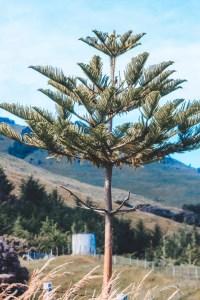 Norfolk Island Pine tree new zealand