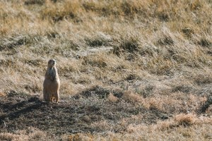 prairie dogs in wind cave national park