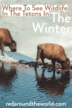 Visit Jackson Hole and Grand Teton in the winter and go on a DIY wildlife safari in the winter. It's perfect for budget travelers looking for adventure. Grand teton national park wildlife | wildlife in the tetons | |Tetons in the winter | Grand teton winter | Jackson hole wildlife winter | Jackson Hole wildlife