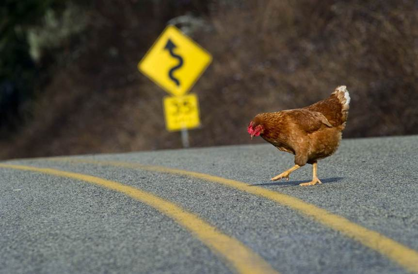 Chicken crossing the road
