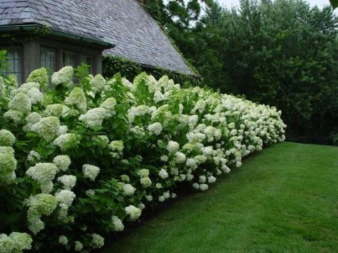 oak leaf hydrangea big hedge