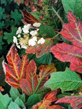 oak leaf hydrangea fall leaves