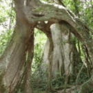 Can REDD save the Mabira forest in Uganda?