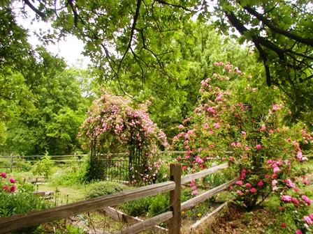 'Zephirine Drouhin' and 'Cl. Old Blush' in my garden.