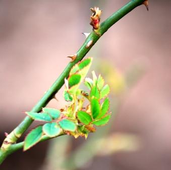 Emerging Rose Leaves