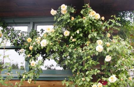 blog-apricot-mystery-rose.JPG