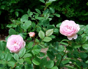 'Heritage' doesn't bloom as often as some of the newer roses, but the blooms are extraordinary.