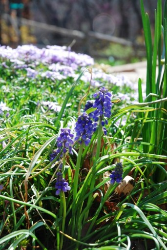Grape Hyacinth with lavender creeping phlox in the back ground