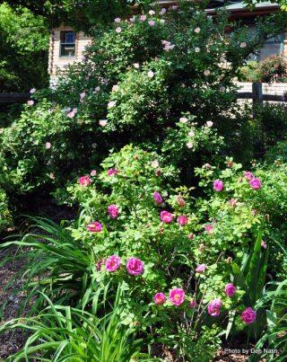 Rosa 'Carefree Delight' backs up 'Basye's Blueberry'