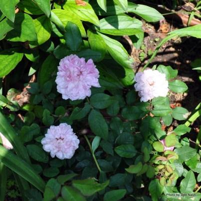 Rosa 'Marchessa Boccella'