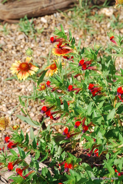 Cuphea 'Tiny Mice' with a native Gaillardia