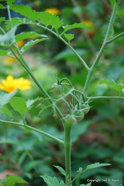Tiny 'Sungold' tomatoes will be bright yellow soon.  Nothing tastes sweeter.