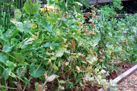 Pea vines past their prime