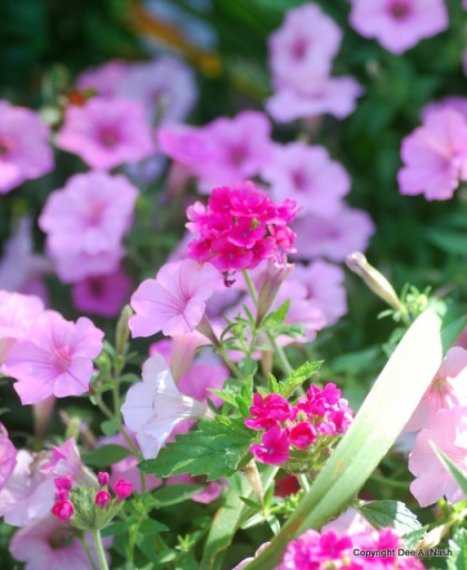Petunia Vista Bubblegum with pin Verbena Neon Rose