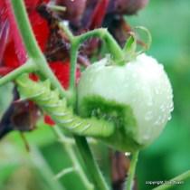 Tomato hornworm.