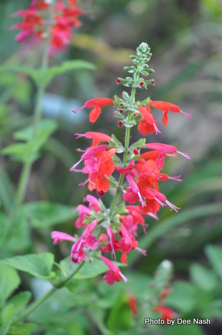 Salvia with red and pink blooms