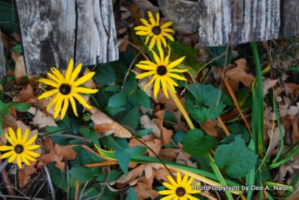 Rudbeckia (came up late & is now blooming)