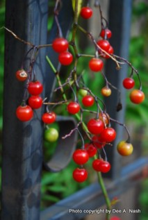 berries from the Brazilian nightshade, Solanum seaforthianum