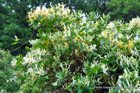 Lonicera japonica, Japanese honeysuckle, a terribly invasive vine. I beg you. Don't plant this problem plant