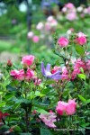 A 'Queen of Holland' clematis and Pink Knockout rose