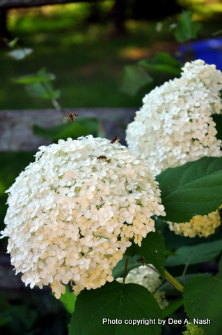 Hydrangeas for Oklahoma's finicky climate. Hydrangea arborescens 'Annabelle' with pollinators drunk with joy