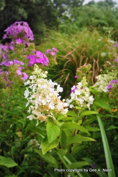 Hydrangea paniculata Pinky Winky™ (which so far isn't pink in my garden) with dependable Phlox paniculata behind.