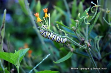 Monarch butterfly munching on butterfly weed.