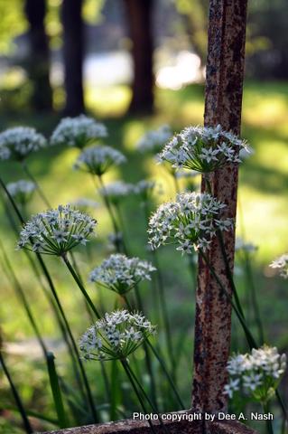 Allium tuberosum, garlice chives