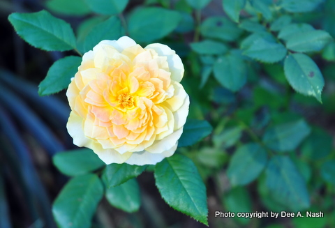 Rosa 'Molineaux,' a yellow blended rose.