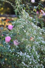 Heath aster and Blush Knockout rose. An old photo. I don't have any Knockout roses anymore.