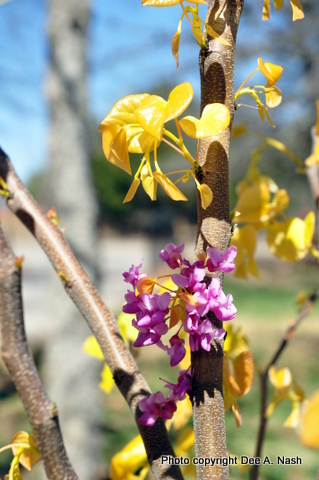 A closeup view of the foliage from The Rising Sun™ redbud. It deserves two photos I think.
