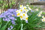 White narcissus of the small (good enough name for me) with a backdrop of blue Phlox divaricata