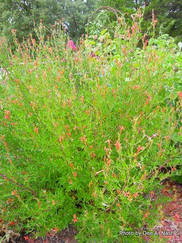 Anisacanthus quadrifidus var. wrightii (hummingbird shrub), a very drought tolerant shrub, is at its limits.