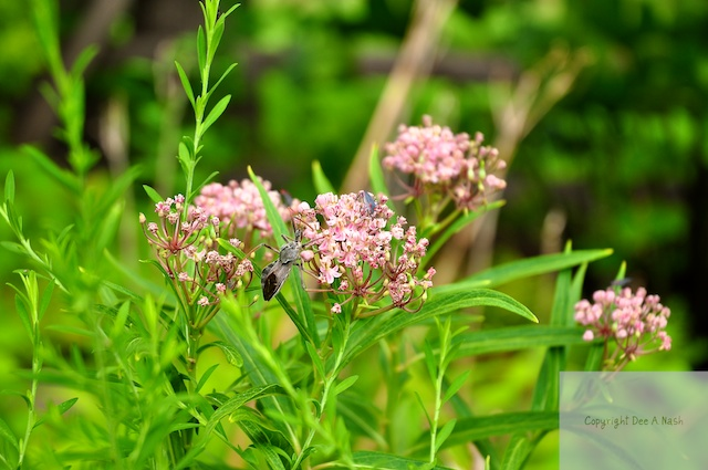 Asclepias incarnata, swamp milkweed, is a great nectar plant too, and it smells like bubblegum. See the assassin bug on the bloom? He will eat anything including your Monarch caterpillars.