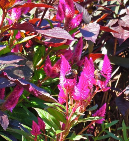 Bumble bees on Celosia 'Intenz'
