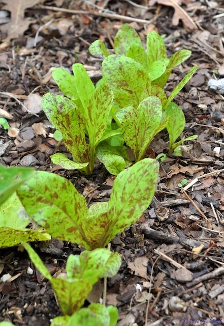 'Forellenschluss' lettuce
